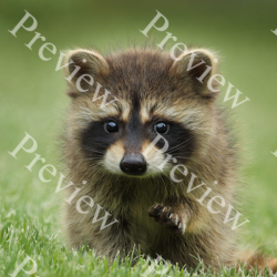 Baby Raccoon Preview
